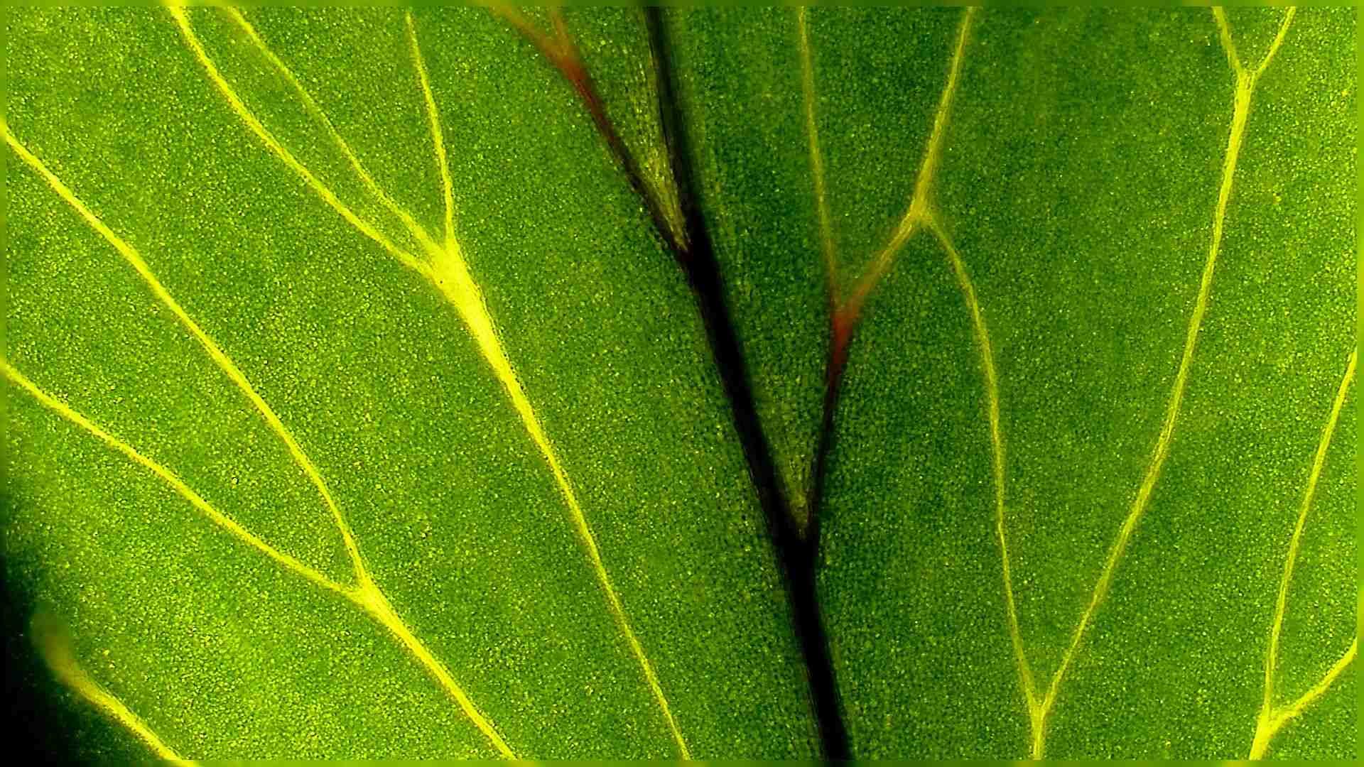 観葉植物(フレボディウム・アウレウム・ブルースター)【葉】
